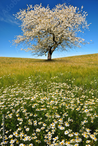 canvas print picture field of marguerites with blooming trees