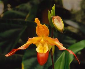 Phragmipedium hybrid