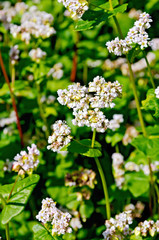 Buckwheat blossoms on background of leaves
