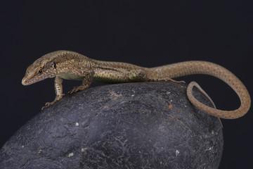 Madeira wall lizard / Teira dugesii