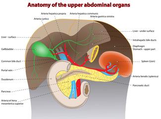 Anatomie - Organe des Oberbauches