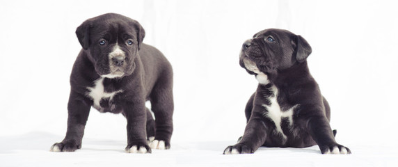 Black cane corso puppies