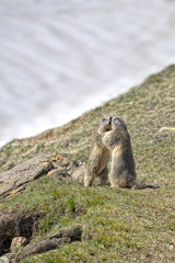 Two Marmot while fighting