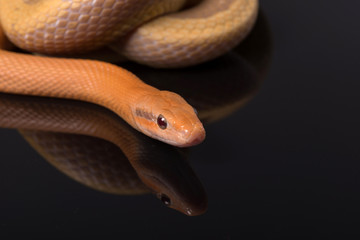 Yellow Rat Snake on black background
