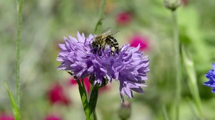 Biene auf Kornblumen