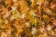 maple leafs in atumn