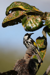 Weißohr-Honigfresser (Phylidonyris niger)
