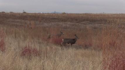 Mule deer Buck and Doe in Rut