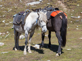 Horses for tourists on Rohtang Pass, near road Manali Leh. India
