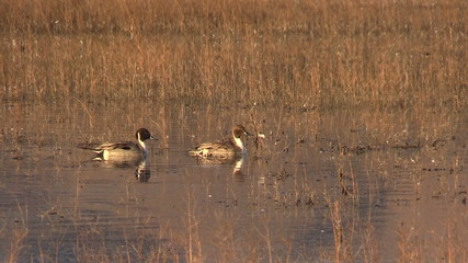 Male Pintail Ducks