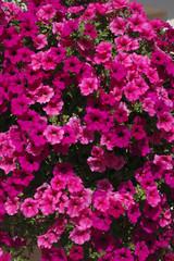 Petunia, Petunia x hybrida, bac à fleurs