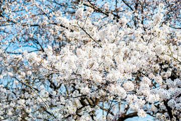 Japan White Sakura