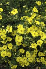 Potentille, Potentilla fruticosa, Variété Kobold