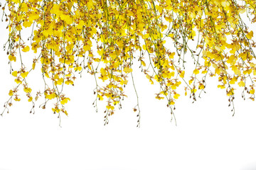 yellow Oncidium orchid bunch on white background
