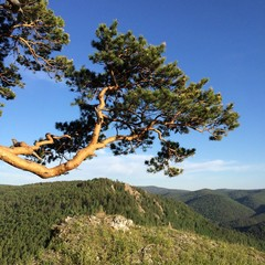 Красивая ветка сосны на фоне гор и неба