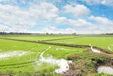 rice meadow