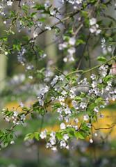 The cherry  blossom under the soft spring sunshine