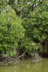 Mangrove tree at mangrove forest