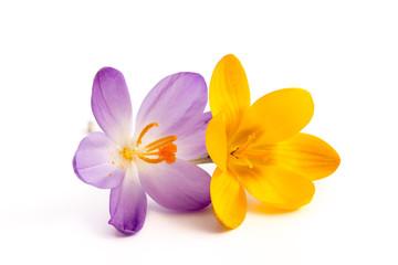 Gelbe und lila Krokusblüte