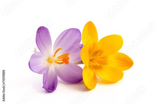 Fotobehang Krokus Gelbe und lila Krokusblüte