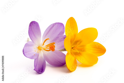 Aluminium Krokus Gelbe und lila Krokusblüte