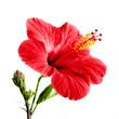 Leinwanddruck Bild - Hibiscus