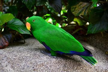Eclectis parrot portrait