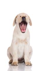 funny labrador puppy yawning