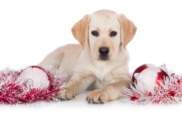 labrador retriever puppy with Christmas decorations