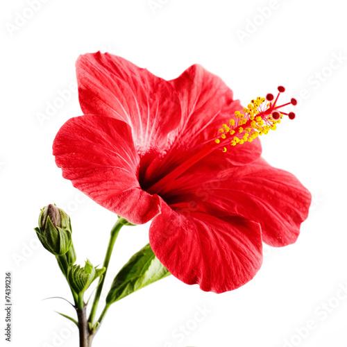 Foto op Plexiglas Bloemen Hibiscus