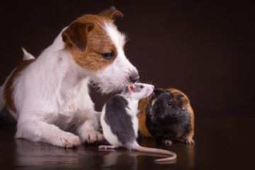 Rats and guinea pigs and dog