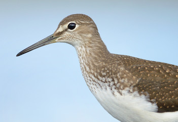 Green sandpiper portrait