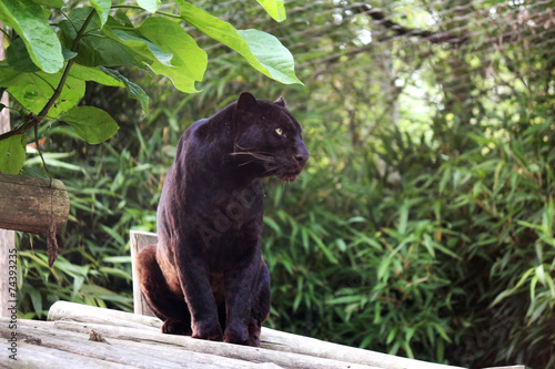 Fotobehang Luipaard Panthère Noire