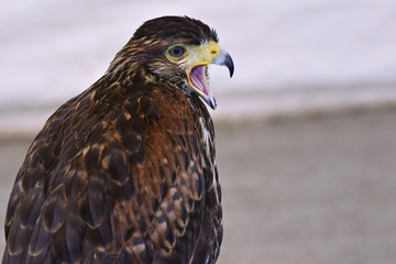 Peregrine Falcon with open beak