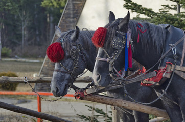 Portret of two horses  in harness, Borovetz resort