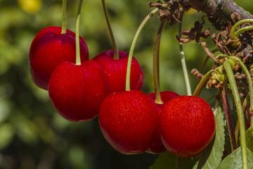 Five cherries on the tree