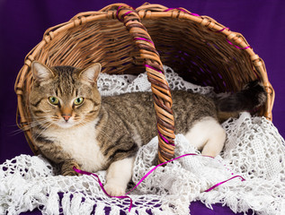 Tabby cat lying in a basket with white veil. Purple background.