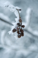 Frost covered buds