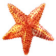 The caribbean starfish on a white background. - 74403061