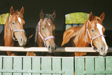 Purebred mares looking over the barn gate