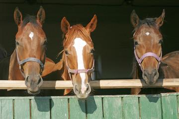 Warm blood purebred mares looking over the barn door