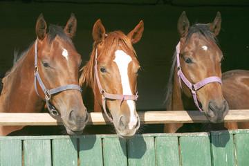 Beautiful thoroughbred horses at the barn door