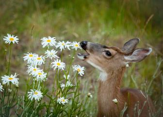 Deer Eating Daisies