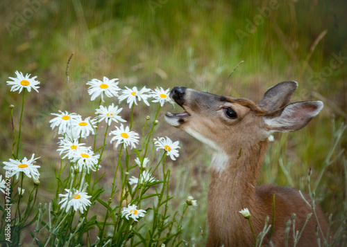 Papiers peints Cerf Deer Eating Daisies