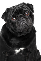 Close-up portrait of a pug, isolated