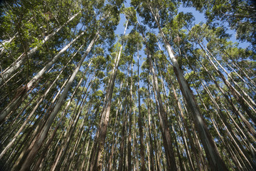 Towering nd converging trees  Hawaii eucalyptus trees.