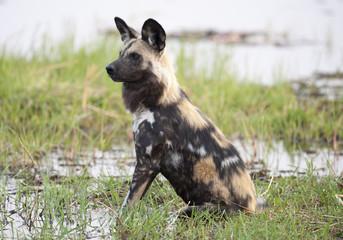 africa Botswana Okavango  delta animals wildlife   wild dogs