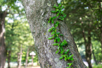 Vines crawling up a tree during summer in South Korean mountain.