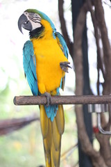 Parrot yellow