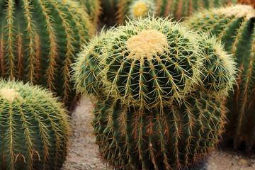 Cactus  is plant.